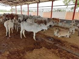 1300 cows are dying of starvation
